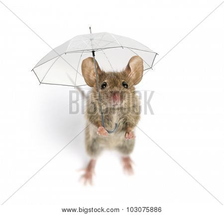 High view of a Wood mouse holding an umbrella in front of a white background