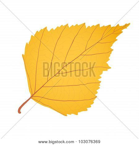 Yellow Gold Birch Leaf As Autumn Symbol And Icon Of The Fall Weather Isolated White Background.