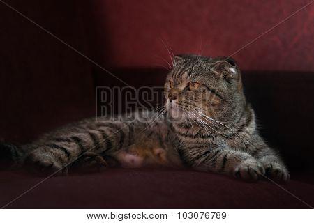 Portrait of the scottish fold cat on rad sofa