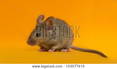 Wood mouse in front of an orange background