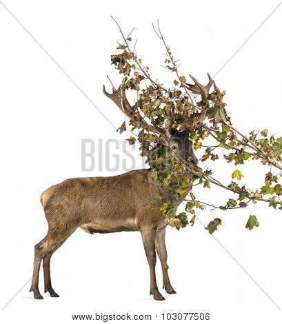 Red deer stag in branchs in front of a white background