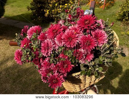 Pink Chrysanthemums In Bicycle Basket.