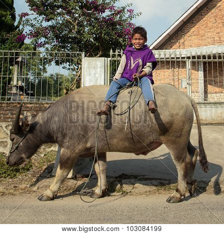 SUMATRA, INDONESIA - MARCH 20: Unidentified Indonesian child riding water buffalo March 20, 2015 Tuk-tuk,, Sumatra, Indonesia. Children in Indonesia often ride the water buffalo while herding them.