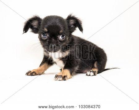Cute Puppy Chiwawa