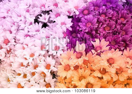 Chrysanthemum flower is sweet soft style abstract background
