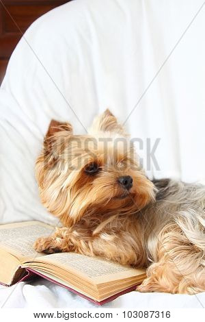Yorkshire Terrier And The Opened Book.  1