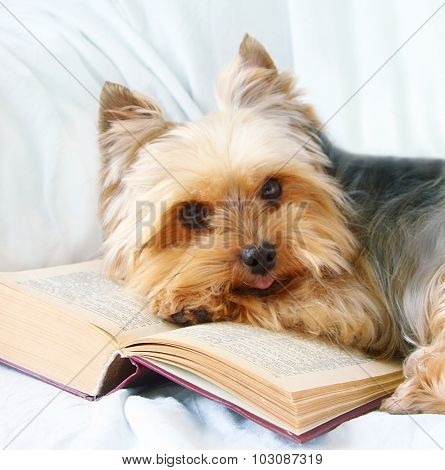 Yorkshire Terrier And The Opened Book.