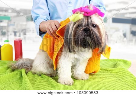 Hairdresser towel Shih Tzu dog in barbershop