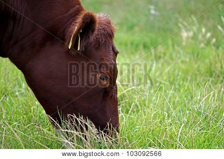 Red Poll Bullock Grazing