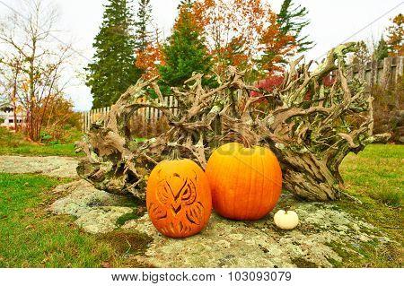Pumpkins for halloween at yard