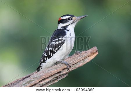 Handsome Hairy Woodpecker