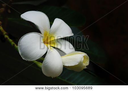 Frangipani (plumeria) And Sweet Flowers In Black Background