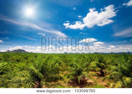 Young palm trees plantation and blue sky with white clouds
