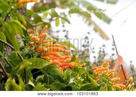 Close up Orange trumpet Flame flower Fire-cracker vine