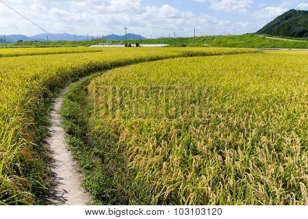 Walking path though the paddy rice