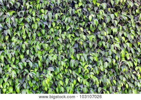 Pattern of green leaves of ficus