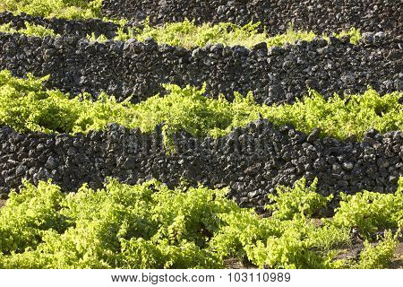 Traditional Azores Landscape With Volcanic Rock Vineyards In Pico. Horizontal