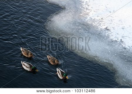 Ducks Swimming In A Winter River Near The Ice Floes