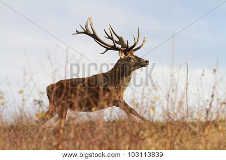 Beautiful Red Deer Stag On The Run
