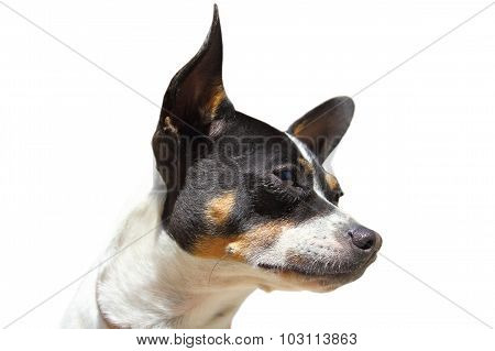 Chihuahua Portrait Isolated On White