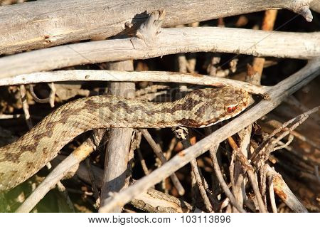 Common Adder Basking On Twigs