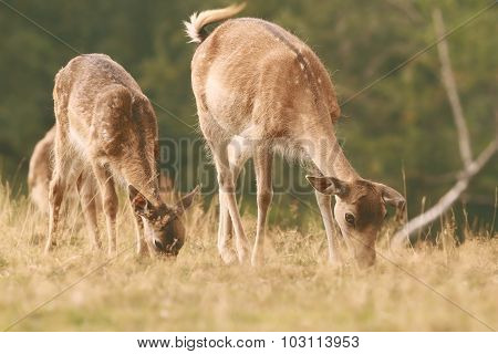 Fallow Deer Family Grazing On Meadow