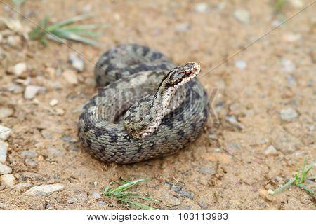 Female Vipera Berus