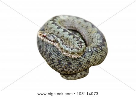 Isolated Female Common Adder