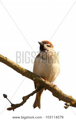 Isolated House Sparrow Standing On Branch