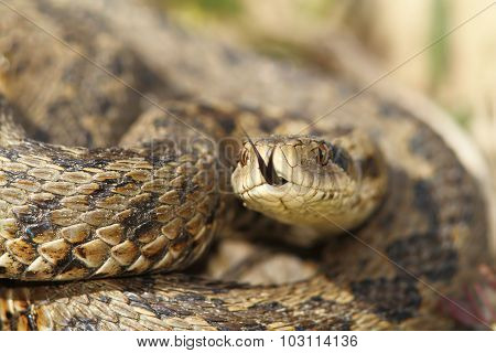 Macro Image Of A Meadow Viper