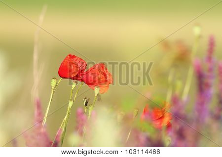 Two Beautiful Poppies In The Field