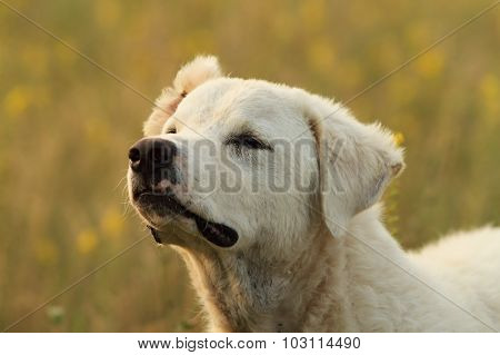 White Romanian Shepherd Dog Portrait