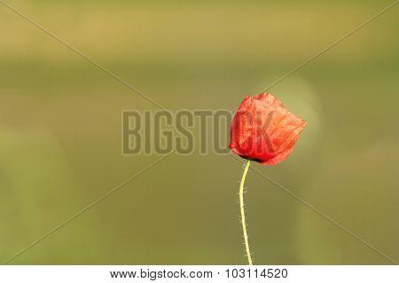 Wild Poppy Flower Over Green Background