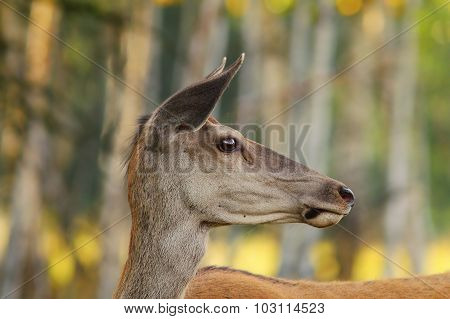 Wild Red Deer Doe Portrait