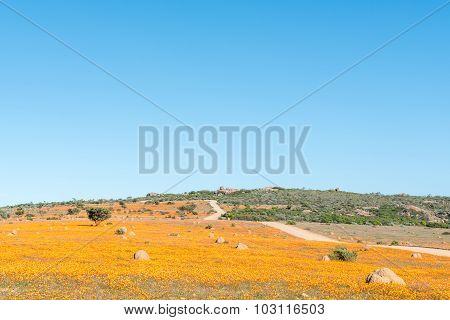 Large Fields Of Indigenous Orange Daisies