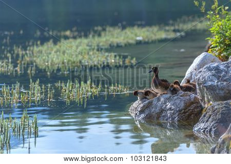 duck family on lake water