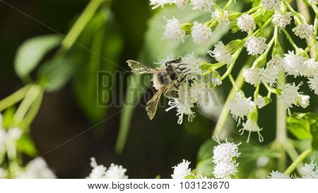 Honey Bee Climbing on Common Boneset White Blooms.