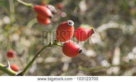 Red Multiflora Rose Thornbush Seeds.