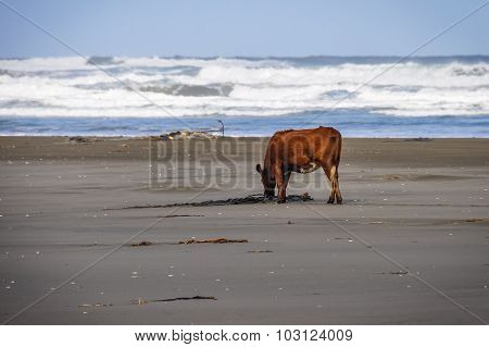 Cow On The Beach, Chiloe Island, Chile
