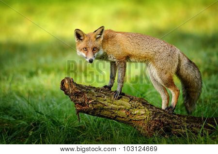 Red Fox Standing On Tree Trunk