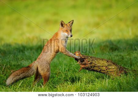 Red Fox Leaning To Tree Trunk