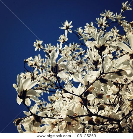 White Flowers On The Magnolia Tree. Aged Photo.