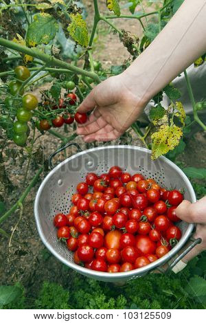 Picking Organic Cherry Tomatoes In A Summer Garden