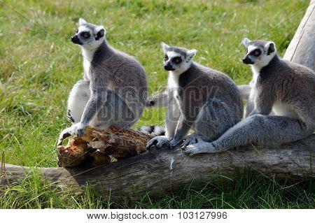 Three Ring tailed Lemurs