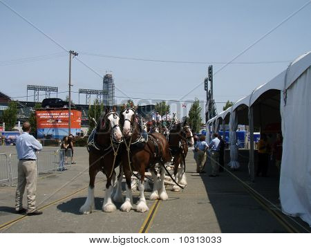 Budweiser Clydesdales Get Ready For All-Star-Parade