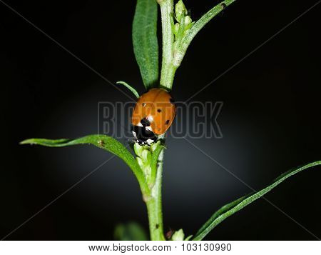 Ladybug On A Stem In The Dark, Macro, Selective Focus