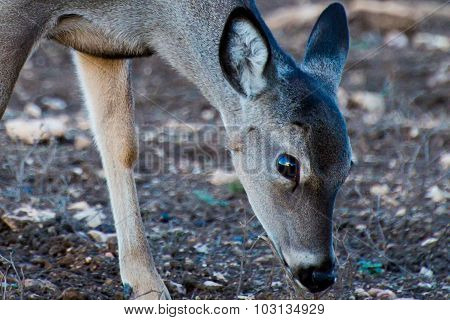 Sunset Reflection In The Eye Of A Fawn
