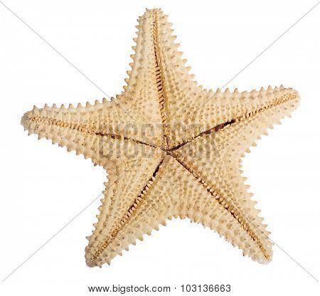beige starfish isolated on white background