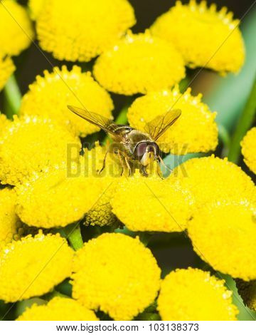 Hoverfly On Blooming Common Tansy, Macro, Selective Focus