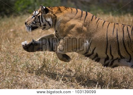 Portrait of male tiger charging